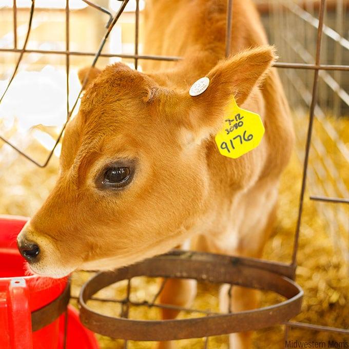 Meier Dairy Calf