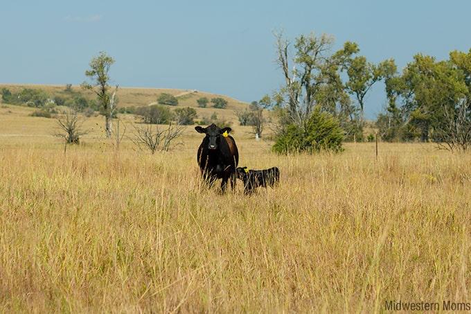 Dalebanks Angus - calf