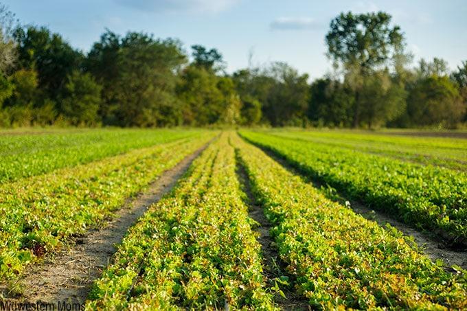 Juniper Hills - Organic Lettuce