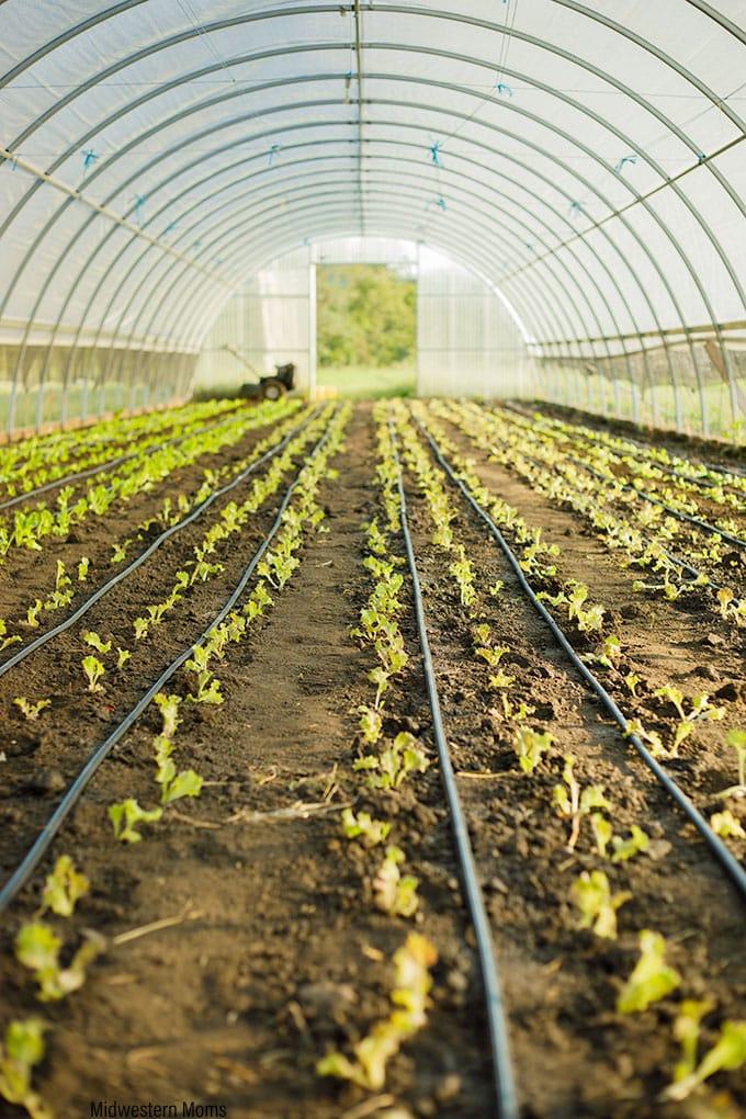 Juniper Hill-Organic Lettuce