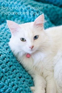 White cat curled up in a blue blanket.