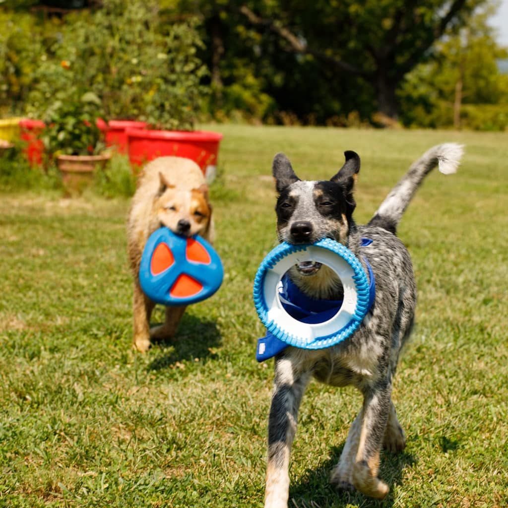 Cricket and Bandit love playing fetch with their new toys from Chuckit!